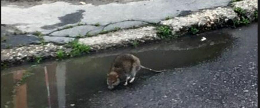 Markó Beáta: A patkányok fővárosa